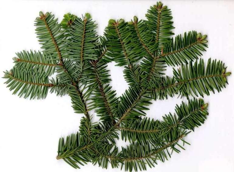 Resultado de imagen de abeto hojas